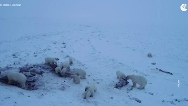 Чукотку оккупировали белые медведи