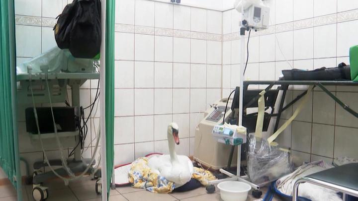 В Калининграде ищут причину гибели лебедей