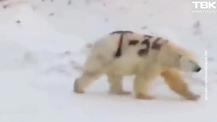 Медведи грязи не боятся: кто и зачем изрисовал белого медведя?
