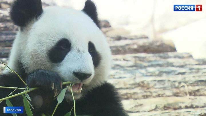 Московский зоопарк - трехкратный лауреат международной панда-премии