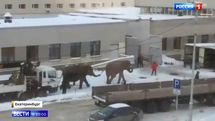 Тропические животные в уральских сугробах: в Екатеринбурге слоны вышли на променад