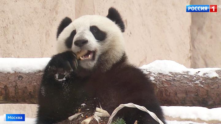 Московские панды получили международные награды