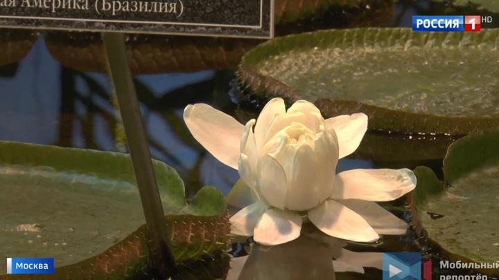 """Хищная красота: в """"Аптекарском огороде"""" расцвела самая большая кувшинка в мире"""
