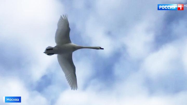 В Гольянове спасают лебедя