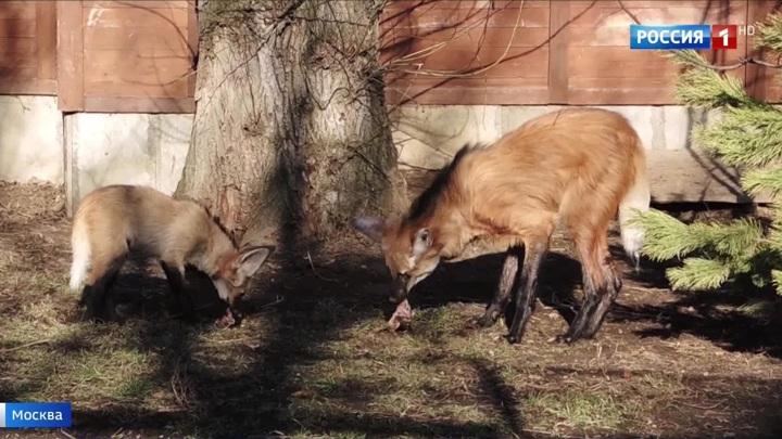"""В Московском зоопарке родители """"вывели в свет"""" тройню гривистых волчат"""