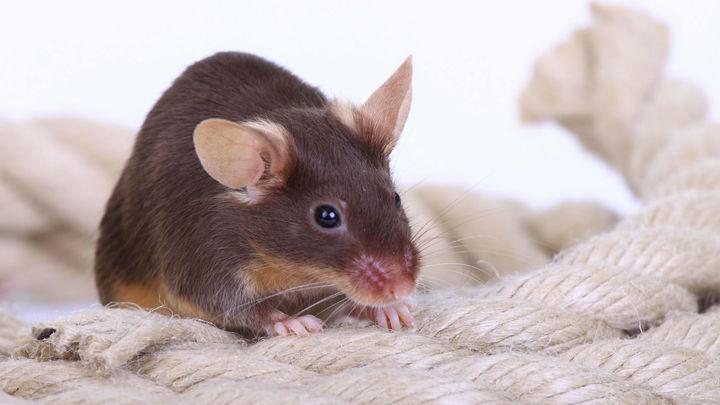 Мыши, учуяв крысиные слёзы, перестают двигаться, чтобы оставаться незамеченным для врага.