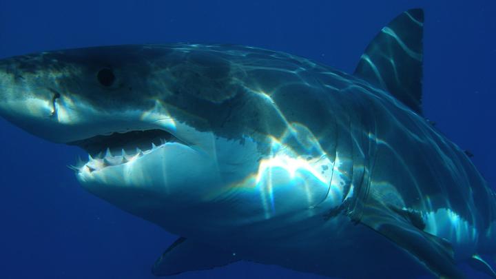 Приморских жителей предупредили об опасности встречи с белыми акулами