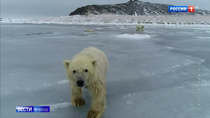 """День белого медведя: ученые проведут перепись """"хозяев Арктики"""""""