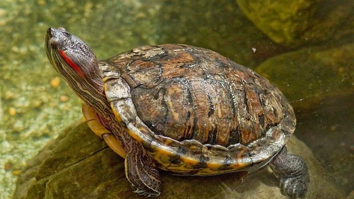 В тестах принимали участие красноухие пресноводные черепахи (Trachemys scripta elegans).