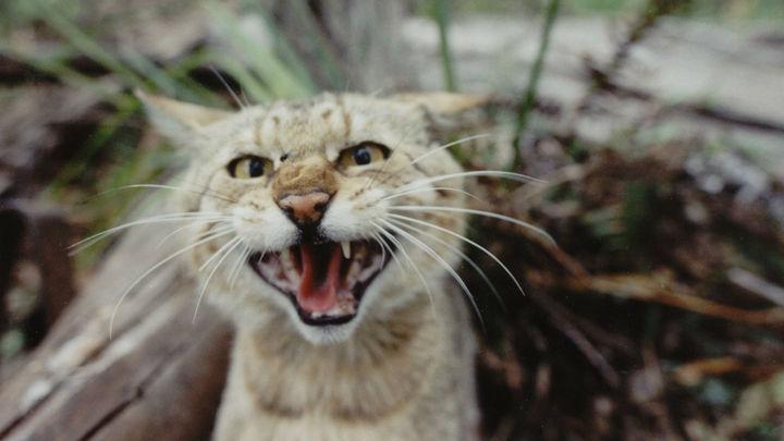 Биологи оценили ущерб: одичавшие кошки истребляют рептилий Австралии миллионами
