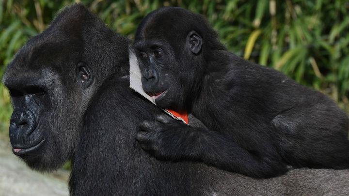 Забота о детёнышах влияет на репродуктивный успех самцов горилл