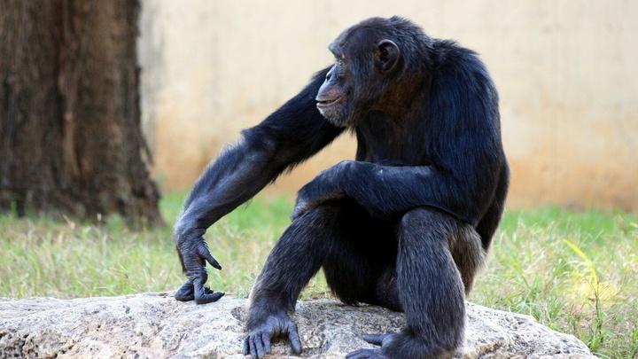 Ничто человеческое не чуждо: шимпанзе могут манипулировать другими ради получения выгоды