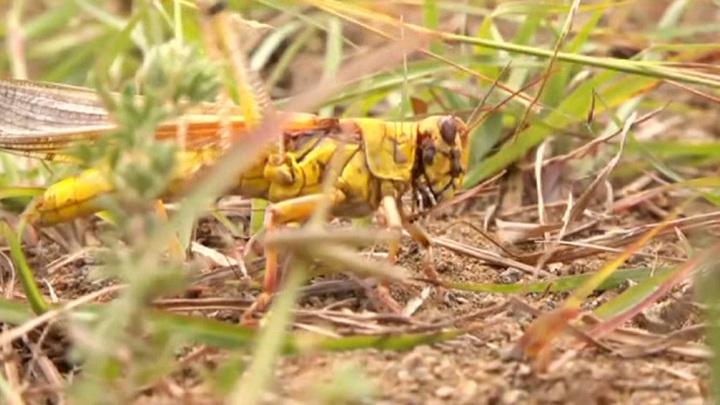 """Библейское нашествие африканской саранчи: Китай применит """"биологическое оружие"""" для защиты"""