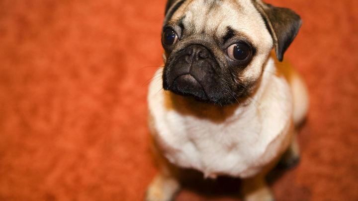 Маленькие собаки метят территорию на большей высоте, чтобы казаться крупнее