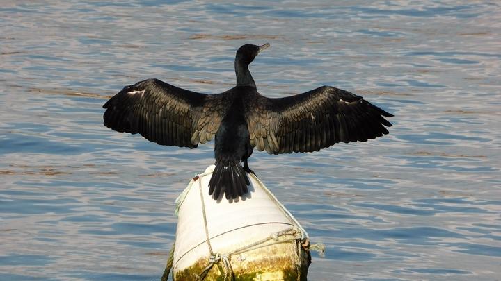 Морские птицы вынуждены летать меньше из-за паразитов