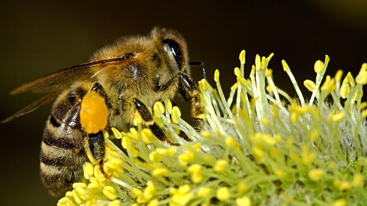 Биологи изучили странное поведение пчёл во время солнечного затмения