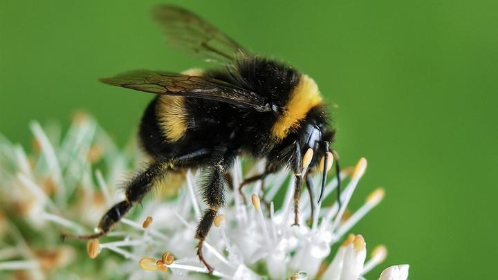 Биологи впервые выяснили, как пестициды изменяют поведение целых колоний опылителей
