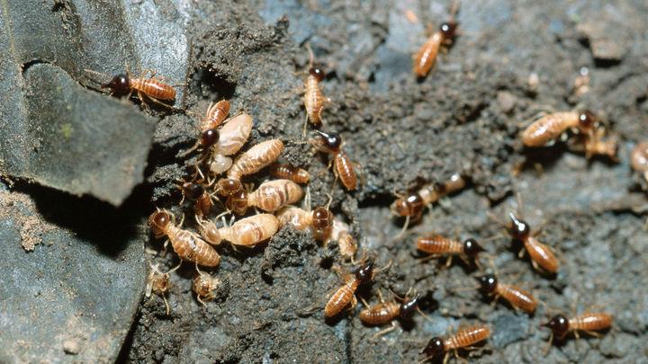 Обнаружены колонии самок термитов, отказавшихся от секса