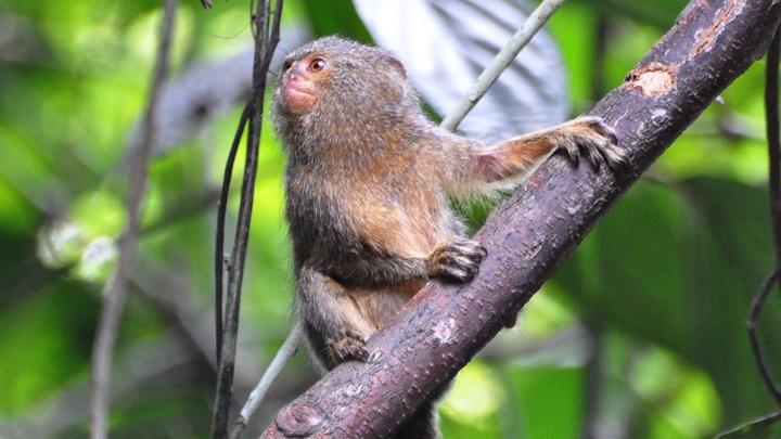 Самых маленьких в мире обезьянок разделили на два вида