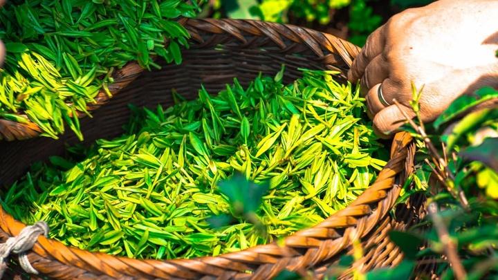Зелёный чай подарил учёным новый инструмент генной терапии