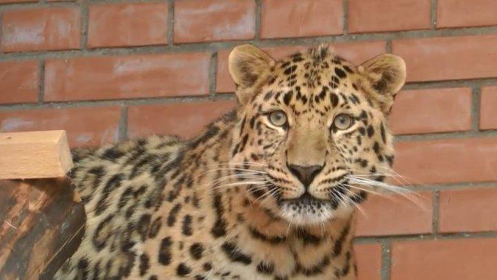 Любопытная мегакошка: леопард вышел к людям в Приморье