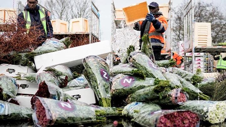 Продажи упали до нуля: в Нидерландах из-за коронавируса уничтожают тысячи цветов