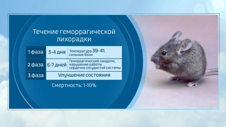 У COVID-19 появился подражатель? Крысиный хантавирус начал убивать