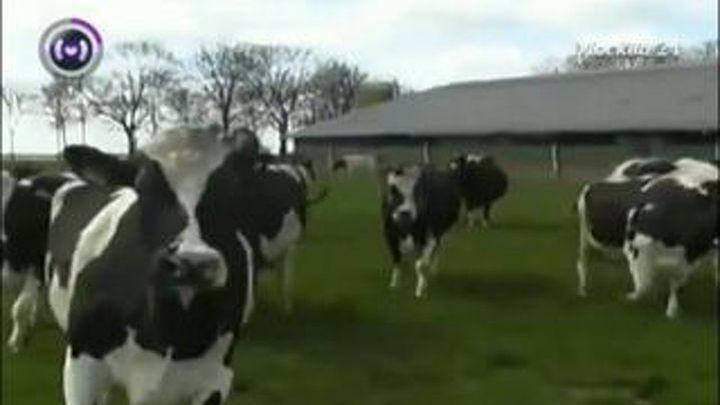 Голландские коровы радуются пришедшему теплу