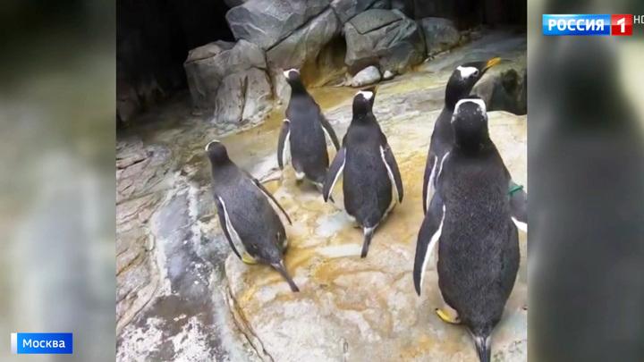 В Московском зоопарке сняли на видео переселение пингвинов
