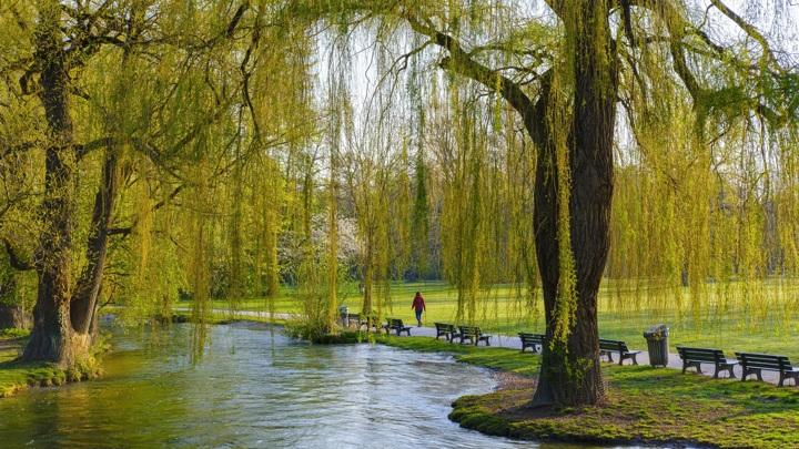 Листья и стволы ивы стали источником ценного вещества.