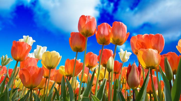 12 миллионов тюльпанов распустятся на клумбах Москвы