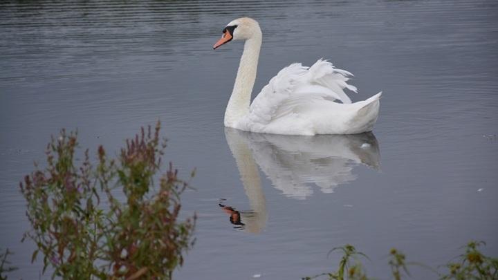 На столичные водоемы после зимы возвращают лебедей