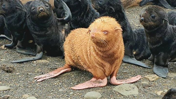 Морской котик на острове в Охотском море удивил своим окрасом