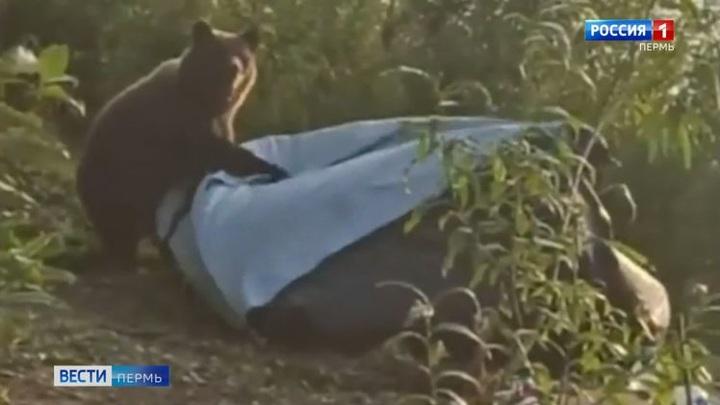 Порвал в клочья: в Перми медведь напал на лагерь туристов