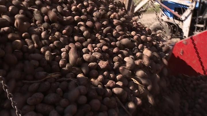 Алтайские аграрии собрали 18,5 тысяч тонн картофеля