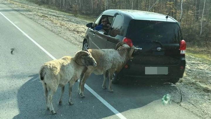 Овчубук атаковал машину на трассе в Якутии