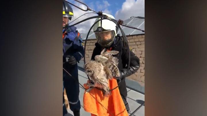 С крыши дома в центре Москвы спасли атакованную воронами сову