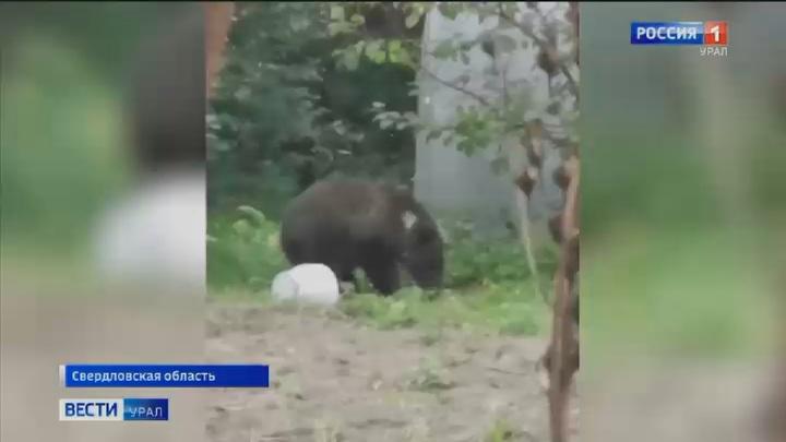 Новости про медведей в конопле конопля в адыгеи