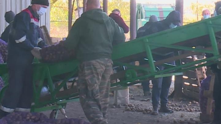 Заключенные рязанской колонии №2 собирают урожай картофеля