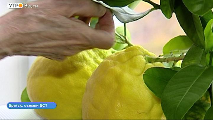 Гигантские лимоны вырастила жительница Братска