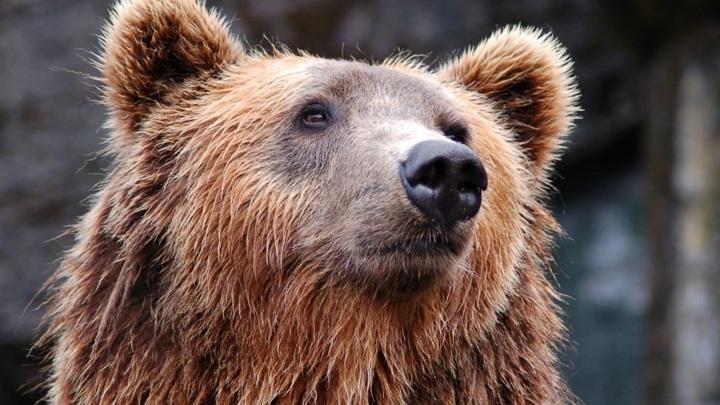 Россияне назвали лучше всего олицетворяющего страну животное