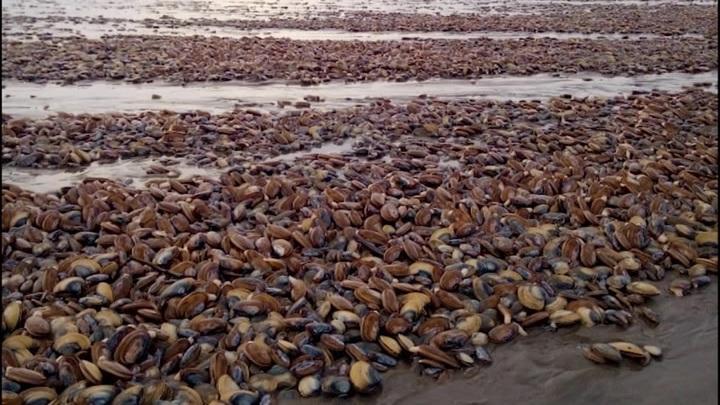 В Магаданской области тысячи мидий прибило к берегам региона