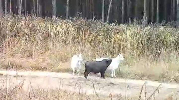 Кабанчик-пастушок: во Владимирской области свинка выгуливает коз