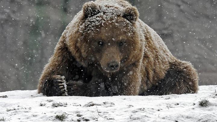 Медведь устроил погоню за лыжником на курортном склоне. Видео