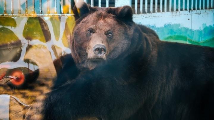 В липецком зоопарке медведицу Машу мучает бессонница