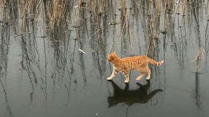 Челябинские коты научились ходить по воде