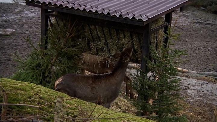 Калининградский зоопарк начинает прием живых елей