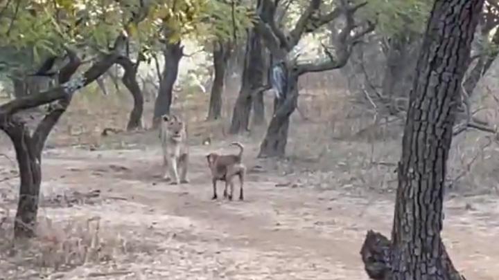 Бродячая собака против львицы: потасовка животных в национальном парке попала на видео