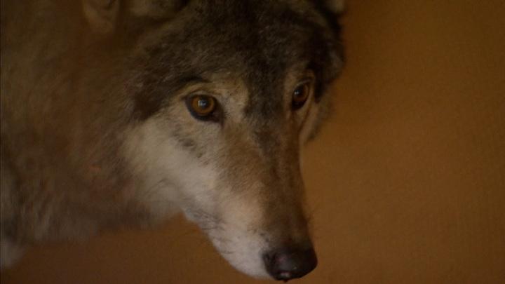 Пойман страшный зверь, терроризировавший Подмосковье