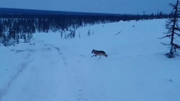 Стаи волков появились на окраинах Норильска